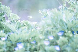 オオイヌノフグリの写真・画像素材[2054696]