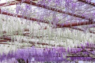 紫と白の藤棚の写真・画像素材[2091938]