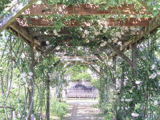 白薔薇のトンネルの写真・画像素材[2392569]