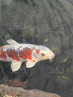 鯉の写真・画像素材[4160068]
