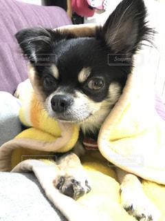 犬,チワワ,かわいい,毛布,ドヤ顔,ブラックタン,カメラ目線,寒がり