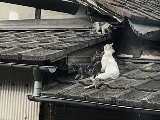 猫の写真・画像素材[558588]