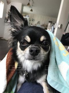 カメラを見て犬 - No.721478