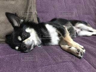 ベッドの上に横たわる犬 - No.779328