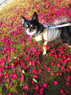 赤い花びら一面の中の犬 - No.972268