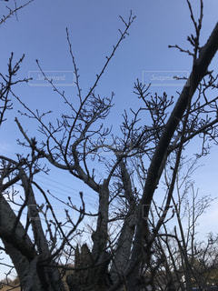 つぼみの山桜の写真・画像素材[1012822]
