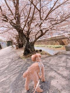 満開の桜お花見中の写真・画像素材[1091292]