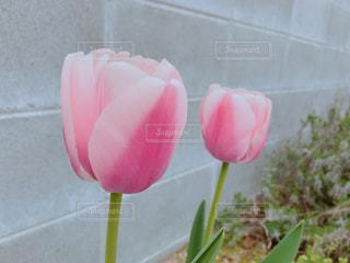 庭のピンクのチューリップの写真・画像素材[1125867]