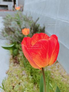 オレンジのチューリップの写真・画像素材[1125868]