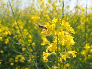 菜の花と蜂の写真・画像素材[1144081]