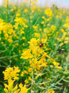 菜の花畑とてんとう虫の写真・画像素材[1144321]