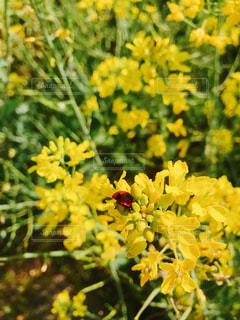 菜の花とてんとう虫の写真・画像素材[1144322]