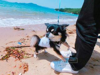 海が怖い犬の写真・画像素材[1168263]