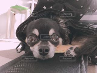 バッグに入る練習中の愛犬の写真・画像素材[1287965]