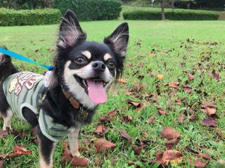 芝生の上で散歩、満足顔の犬の写真・画像素材[1483500]