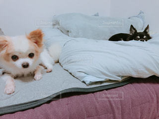 ベッドの上で横になっているチワワ達の写真・画像素材[1550426]