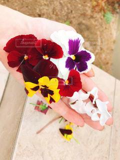 パンジーとビオラとシクラメンの花びらの写真・画像素材[1655054]
