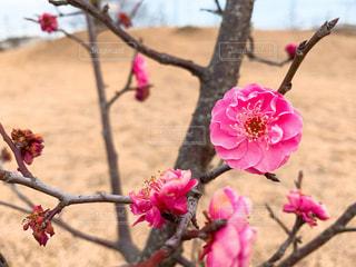 ピンクの梅の花の写真・画像素材[1782344]