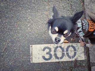 300メートル歩いたチワワの写真・画像素材[1782570]