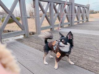 木製の橋を渡って散歩中のチワワの写真・画像素材[1782604]