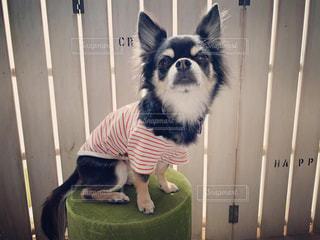 モデル風の愛犬の写真・画像素材[1800285]