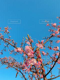 青空の下の河津桜の写真・画像素材[1809656]