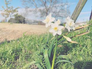 春の空とスイセンの写真・画像素材[1866711]