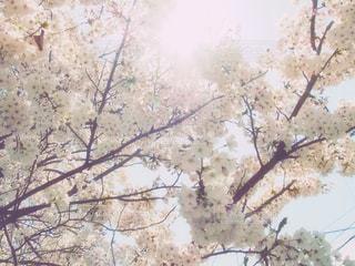 満開の桜を見上げるの写真・画像素材[2000844]