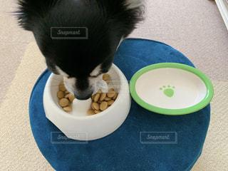 フードを食べるチワワの写真・画像素材[2095833]