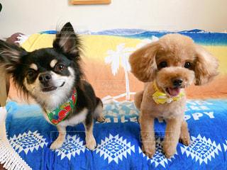 夏仕様のチワワとプードルの写真・画像素材[2336030]