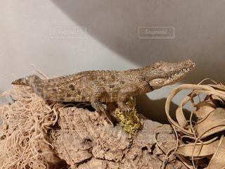 爬虫類のクローズアップの写真・画像素材[2405192]