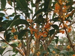 フィルム風、我が家の庭のキンモクセイの写真・画像素材[2609204]