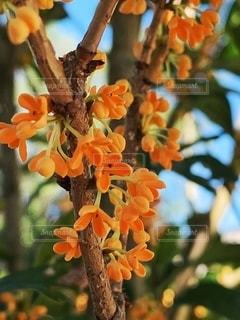 キンモクセイの花のアップの写真・画像素材[2614368]