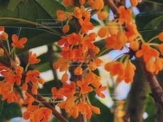 可愛いオレンジの金木犀の花の写真・画像素材[2614369]