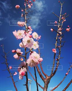 河津桜と青空の写真・画像素材[2972948]