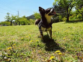 たんぽぽと愛犬の写真・画像素材[4404901]
