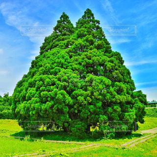 小杉の大杉(トトロの木)の写真・画像素材[757255]