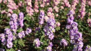 鮮やかなお花畑の写真・画像素材[934262]