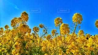 菜の花畑の写真・画像素材[1013383]