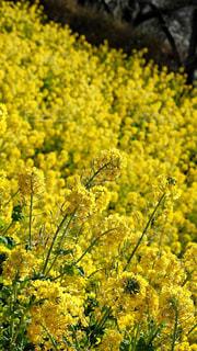 菜の花畑 - No.1013388