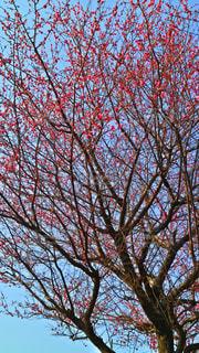 梅の花の写真・画像素材[1024144]