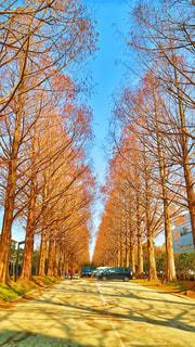 メタセコイア並木道の写真・画像素材[1024145]