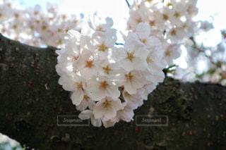ハート型の桜の写真・画像素材[1093178]