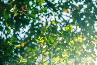 近くに果物の木からぶら下がってアップの写真・画像素材[825148]