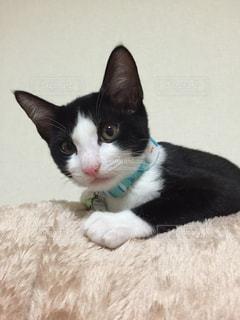 猫,猫が好き,子猫,毛布,カメラ目線,ハチワレ
