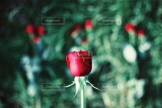花の写真・画像素材[5730]