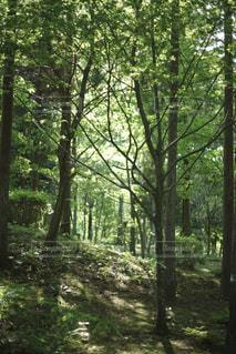 フォレスト内のツリーの写真・画像素材[1166099]