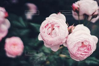 近くの花のアップの写真・画像素材[1244769]