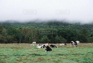 緑豊かな畑で放牧する牛の群れの写真・画像素材[2681489]