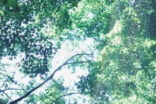 森の中の大きな木の写真・画像素材[3920576]